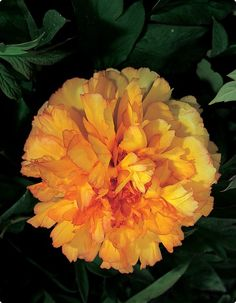 Tree Peony 'Kinkaku' - Full double orange petals tinged with carmine. Blooms May-June. Zones 3-9