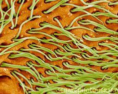 Protozoan cilia, SEM
