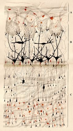 Fig. 1. Original drawing by Camillo Golgi of the nerve cells of the olfactory bulb as visualized by his Golgi method.