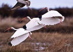 canada goose Tulllim biale