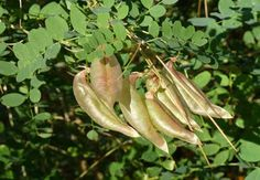 Gyors növekedésű dísznövényként termesztett lombhullató cserje. Virágai sárgák, vagy mély narancssárgák, pillangó alakúak, a borsófa virágjára hasonlít.