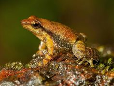 "14 New Species of ""Dancing Frogs"" Discovered"