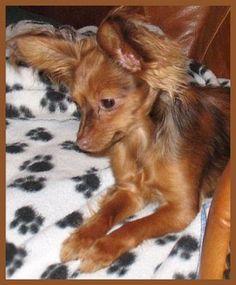 Natasha, the long coat Russian Toy Terrier