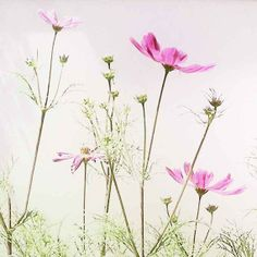Pink Cosmos delicate flowers with a pale background by JeansViews, $20.00