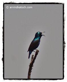 Picture of Male Purple Sunbird making calls #Purplesunbird #Sunbird #malepurplesunbird