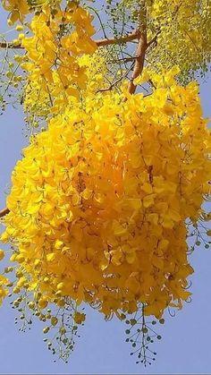 Clump of Mimosa flowers on beautiful tree. Beautiful Rose Flowers, Beautiful Flowers Wallpapers, Beautiful Nature Wallpaper, Unusual Flowers, Amazing Flowers, Yellow Flowers, Pretty Flowers, Beautiful Gardens, Yellow Tree