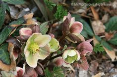 Lighting up the winter months. My heroine adores hellebores, and who doesn't on those frosty mornings? https://sites.google.com/site/sophiechalmersbooks/