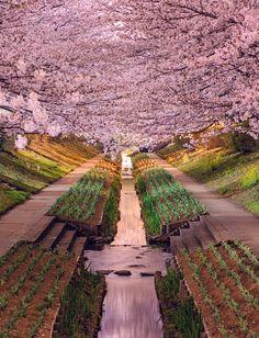 sakura (cherry blossoms), yokohama, japan | travel photography #parks