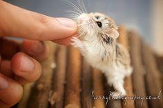 Roborovski Dwarf Hamster – Monkey feeding