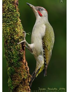 Iberian Green Woodpkr, Picus sharpei: endemic to the Iberian Peninsula. 'Pito Real' photo by Juanma Hernández on 500px // 500px