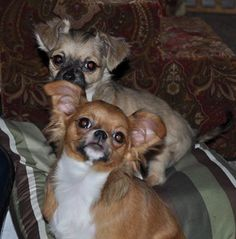 My new little baby Clyde and Bonnie. Bonnie is front. I just adopted 3 baby Chi's to join my Clan of the Chi's. I now have 5. I was only going to get one more Chihuahua to add t our family, but the 3 were 4 and 5 months old and were bonded since birth. I just couldn't split them up.