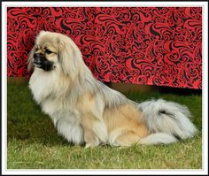 Canine Caviar!  Best Dog Food Money Can Buy.  Grain free and Alkaline! This is Jarl.  He is a four year old Tibetan Spaniel who has never needed to go to the vet thanks to the marvelous, healthy Canine Caviar he gobbles up every day!