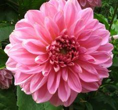 rosa-rote Dahlie