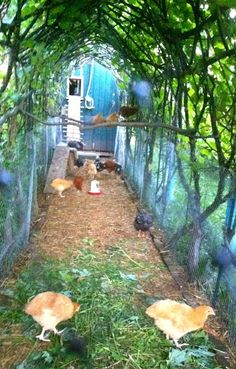 Grow vines or wisteria over chicken run for shade  safety from hawks.