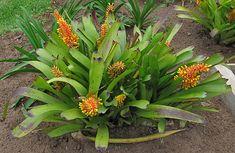 Aechmea Caudata Var Variegata | la varietà maggiormente coltivata è la A. caudata var. variegata ...