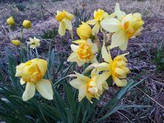空き地に、当たり前のように咲いていた水仙。 力強く咲いている。