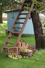 Appels plukken uit een appelboom - Picking apples from the appletree