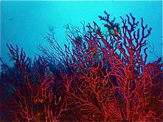underwater coral - red sea egypt