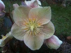 Hellebore crimson rose
