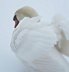 casuarius: snow angel (by lightloverLori) White Swan, Black Swan, Beautiful Swan, Beautiful Birds, Ravenclaw, Rachel Duncan, Into The West, Ugly Duckling, Snow Angels