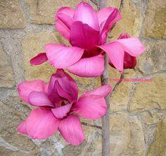 Full size picture of Magnolia 'Vulcan' (Magnolia) Hydrangea Serrata, Blue Hydrangea, Street Trees, Ground Cover Plants, Famous Daves, Magnolias, Horticulture, Botanical Gardens, Landscape Design
