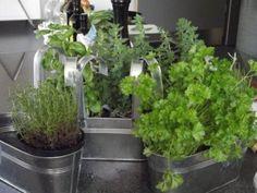 Csodatévő gyógynövények a konyhában » Balkonada konyha és kert Kingwood Center, Culture D'herbes, Limpieza Natural, Herb Garden In Kitchen, Plant Diseases, Plant Information, Miso Soup, Herbs Indoors, Plantar