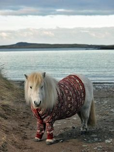 sheltland pony wearing a sweater