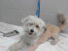 This DOG-ID#A477779  I am a male, white Poodle - Miniature mix. Shelter staff think I am about 2 years old. I have been at the shelter since Jan 10, 2015.  If you are my owner, you must physically come to the shelter to claim me. We are located at 333 Chandler Place, San Bernardino, CA 92408. Our Lost & Found hours are Tuesday-Saturday 10:00 am to 5 pm.
