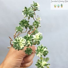 All you need to know about growing Aeonium Castelo-Paivae Variegata 'Suncup' Rat Tail Cactus, Succulents Garden, Indoor Plants, House Plants, Need To Know, Christmas Holidays, Herbs, Cacti, Terrarium