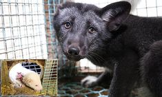 Norway announces total ban on fur farming Worlds Of Fun, Fox Fur, Mail Online, Daily Mail, Farming, Norway, Beauty, Beauty Illustration