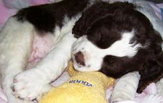 nothing is sweeter than a sleeping Springer puppy  - Can I hold him?