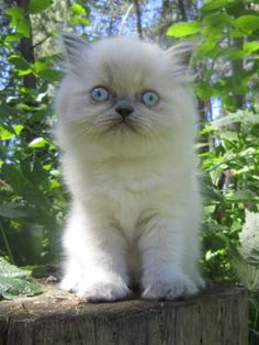 16 Best Pets images in 2013 | Himalayan kitten, Kittens, Cats