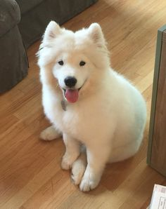 Meet Kempo, a 7 month old Samoyed dog