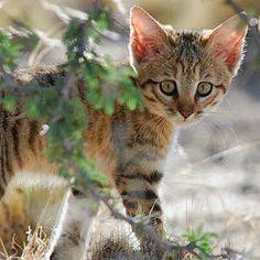 Felis Silvestris Cafra, Southern African wildcat ~ Sub-Saharan Africa Big Cats, Cats And Kittens, Cute Cats, African Wild Cat, Amur Leopard, Cheetah, Egyptian Mau, Small Cat, Domestic Cat