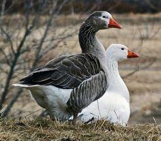 Heritage Pilgrim Geese love