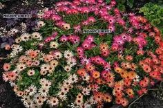 1100 sementes da flor tapete magico - ficoide