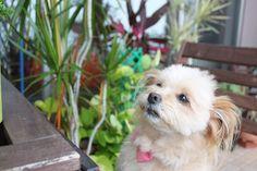 昨日は @shima.pet.clinic  のHappyアジリティパーティーに行ってきました❣️🎶 毎回、素敵な写真や動画を撮ってくださるのですが、その中でもお気に入りの一枚😍💕 プロショット👍 ・ 毎回、楽しそうに学んでいるリヨンを見ていると心から嬉しく和みます🍀🍀 ・ 先生方に感謝です❣️❣️✨✨ ・ ・ #リヨン#ポメプー#ミックス犬#愛犬#アジリティ#happyアジリティパーティ #お友達犬 #素敵写真#学び#笑顔#楽しい時間 #モデル犬気取り