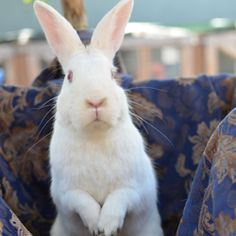 03831_Sugar is an adoptable New Zealand Rabbit in Oakland, CA. Watch me slowly make my way into a volunteer's lap, this could be you! My name is Sugar and I have been at the shelter since August 2011....