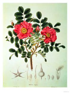 Illustrations florales (Beaux-arts)