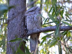 Tawny frog mouth - how well is it camouflaged? I can't believe I spotted it. Whole Food Recipes, Backyard, Wellness, Birds, Animals, Animales, Yard, Animaux, Bird