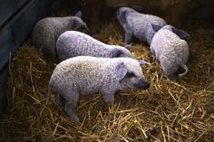 Michigan is cracking down on feral pigs, but many small family farms stand to lose their pigs too!