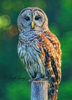 This is my friend Gizmo. He is a wild Barred Owl that lives in our forest in Fort White Florida. Gizmo sits on the fence posts and watches me as I drink my morning coffee, so I took this photograph. He also has a girlfriend that he kisses often. As if to make sure I know she is with him.  Photo - Scott Zawoy