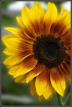 Sunflowers  -  Ciao Anita! -- Sunday's Sunflower  -- Sunflower in the garden of liquor distillery and museum Van Kleef.   on Flickr