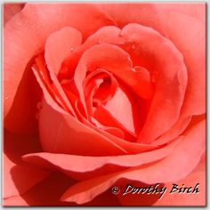 "This rose is called ""Marmalade Skies"" - but, to me, it's the perfect coral!"