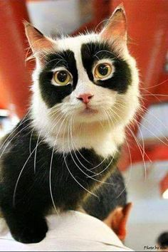 meow meow purr purr - This is, without doubt the most amazing, funny, impossibly symmetrically marked face I have ever seen and I have had many many cats in a long life.   Google+