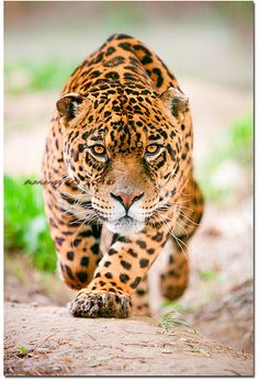 """Jaguar. . . she's sayin' -- """"You're gonna' get what's comin'. . .You been askin' for it two days runnin'."""" LOL"""