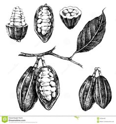 cacao tree drawing - Google Search