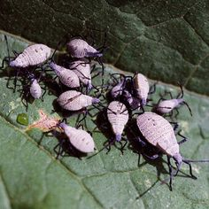 Squash Bugs - Plant marigolds, sunflowers and dill in garden to attract beneficial insects that attack squash bugs
