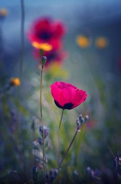 Gorgeous Poppies Pretty Flowers, Pink Flowers, Flower Bokeh, My Flower, Wildflowers, Online College, Poppy, Flowers Nature, Champs