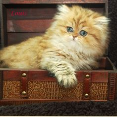 Doll face, Golden Chinchilla Persian cat! I can't wait until I get my new one :)